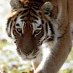 Zoo worker mauled by tiger dies