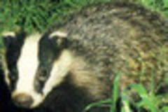 wounded badger patrol appeals for volunteers